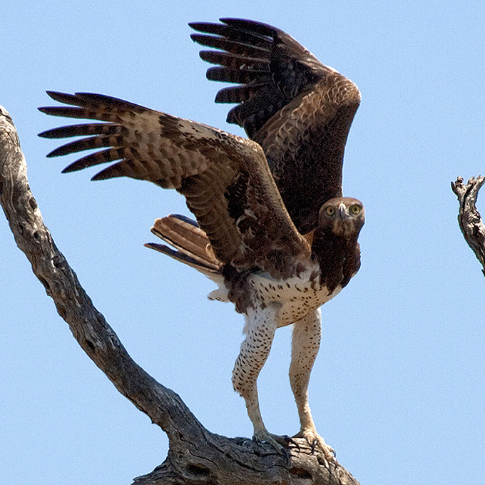 Martial Eagle (Polemaetus bellicosus), by Sergio Seipke