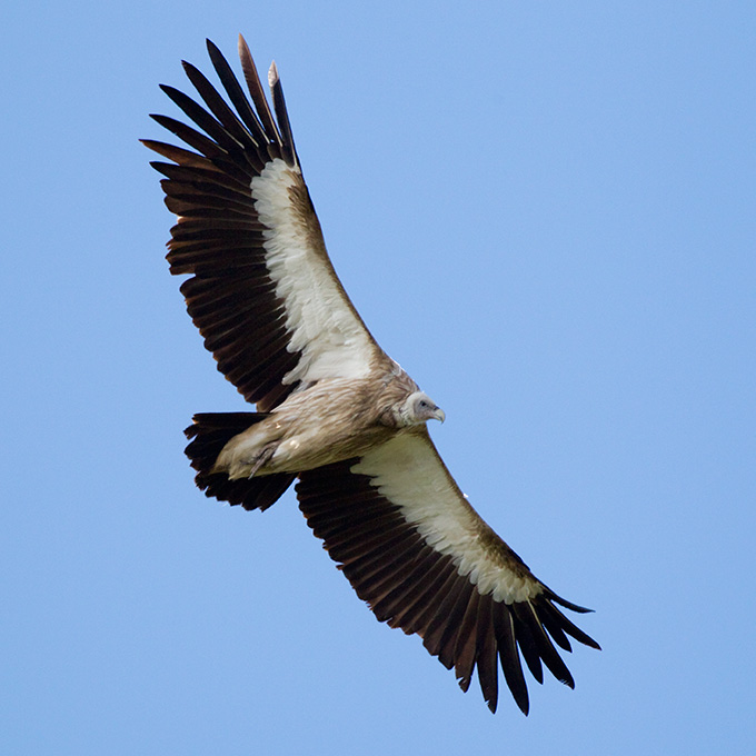 Himalayan Vulture (Gyps himalayensis), adult
