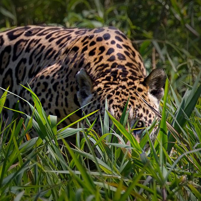 Jaguar (Panthera onca), by Darío Podestá