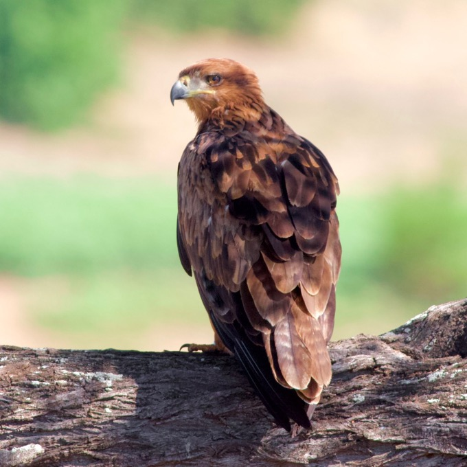 Tawny Eagle (Aquila rapax) in the Kruger, by Sergio Seipke