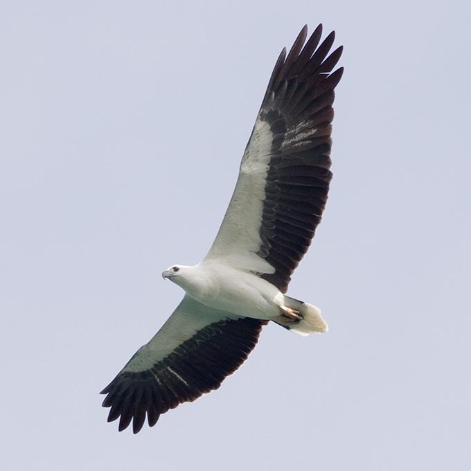 White-bellied Sea Eagle (Haliaeetus leucogaster), adult