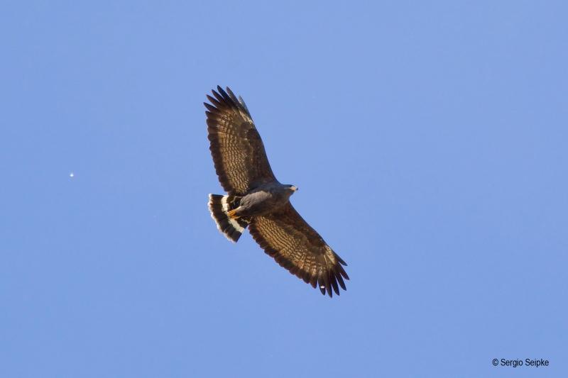 Common Black Hawk (Buteogallus anthracinus), by Sergio Seipke