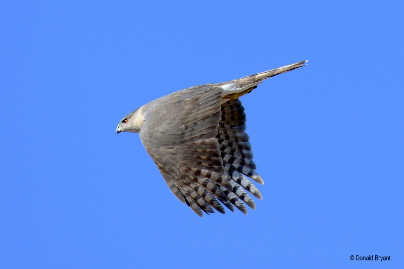 Cooper's Hawk (Accipiter cooperii), by Donald Bryant