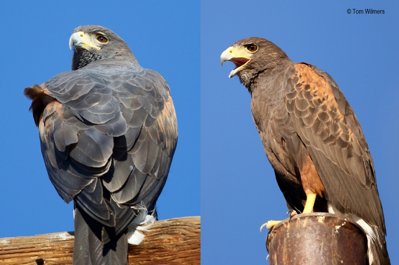 Harris's Hawk (Parabuteo unicinctus), by Sergio Seipke
