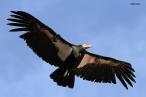 California Condor (Gymnogyps californianus), by Bill Clark