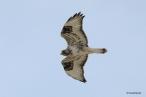 Rough-legged Hawk (Buteo lagopus), by Donald Bryant